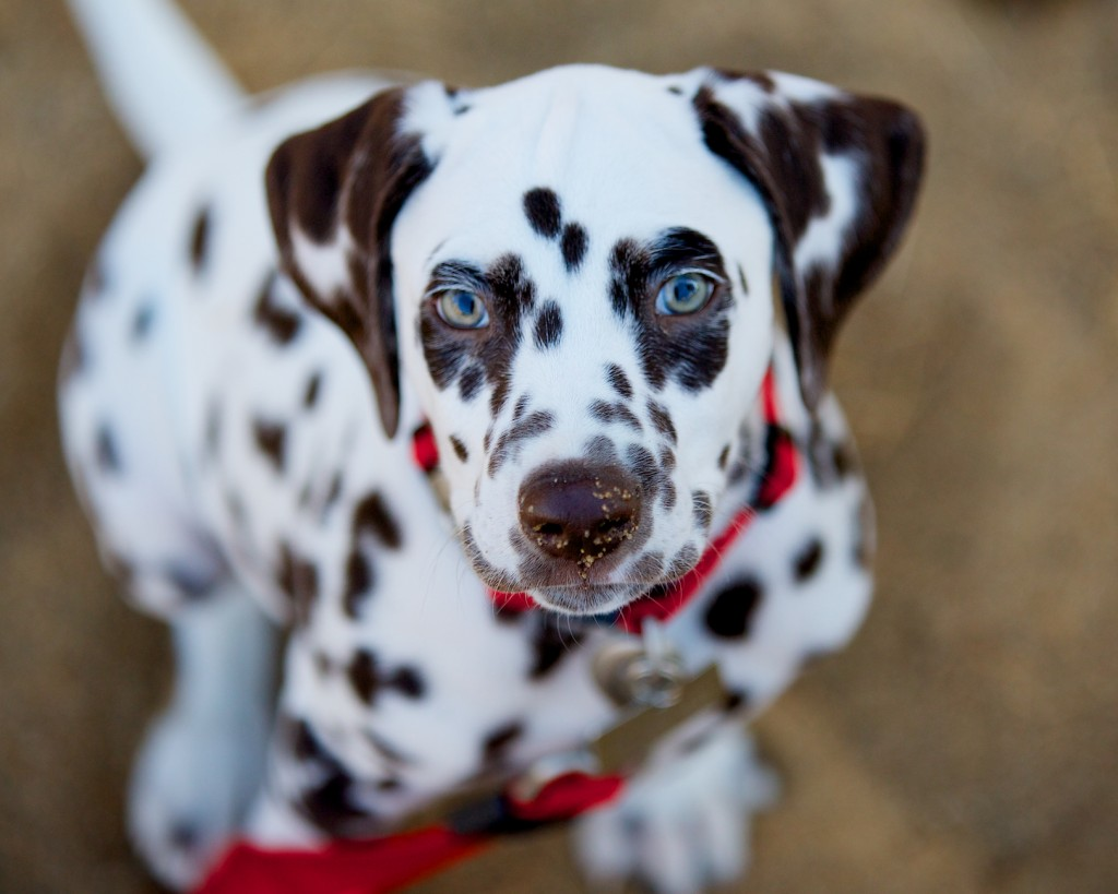 Dalmatian Puppy Engagement