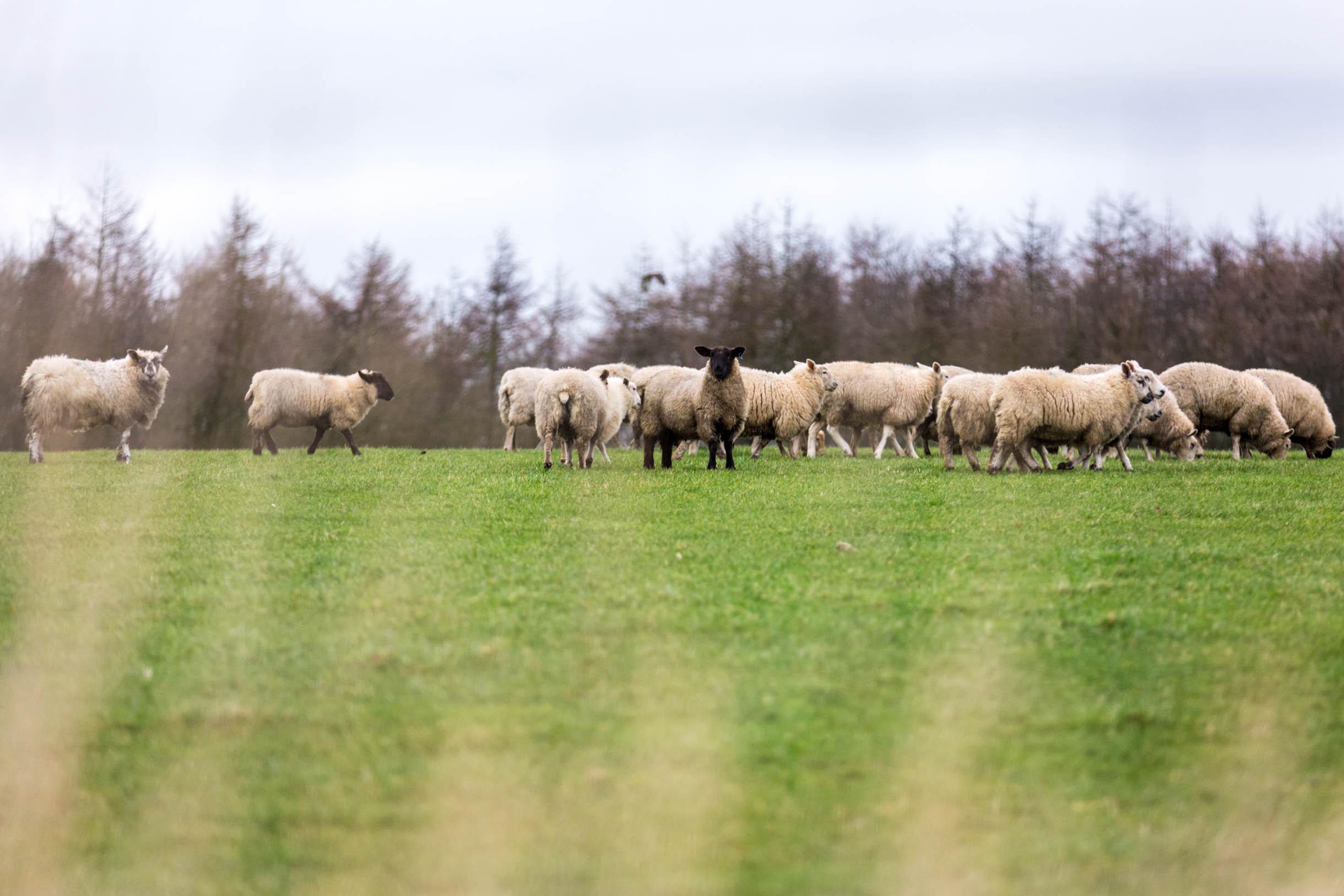 Sheep near st. andrews scotland