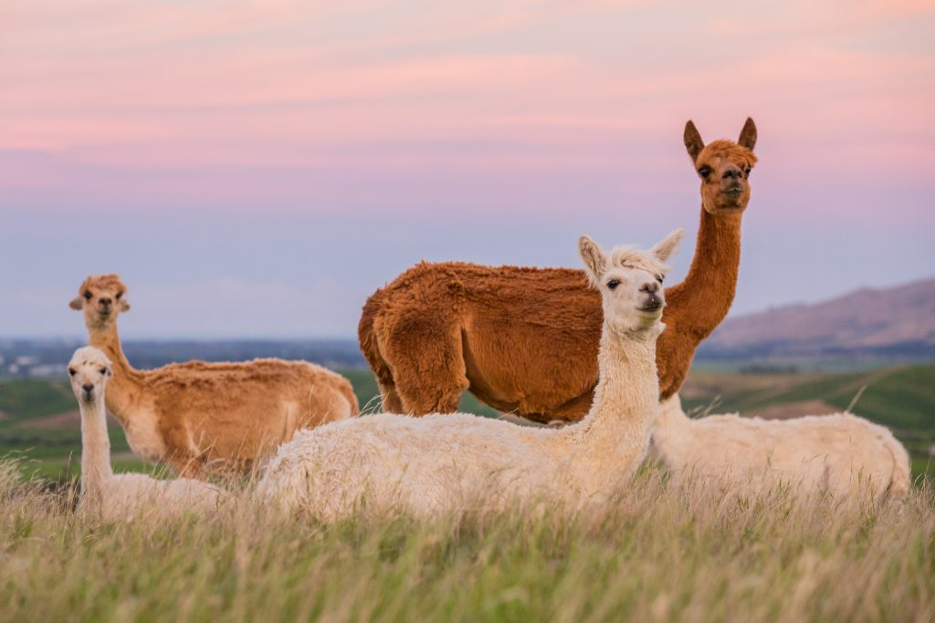 a picture of alpacas at sunset in new zealand