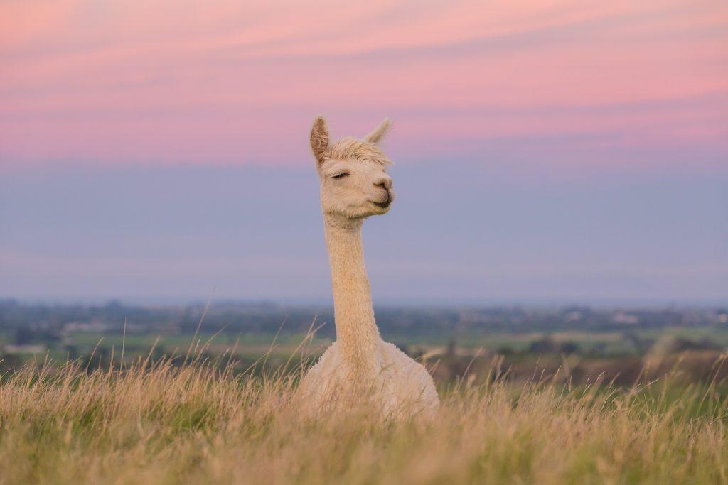 picture of new zealand alpacas