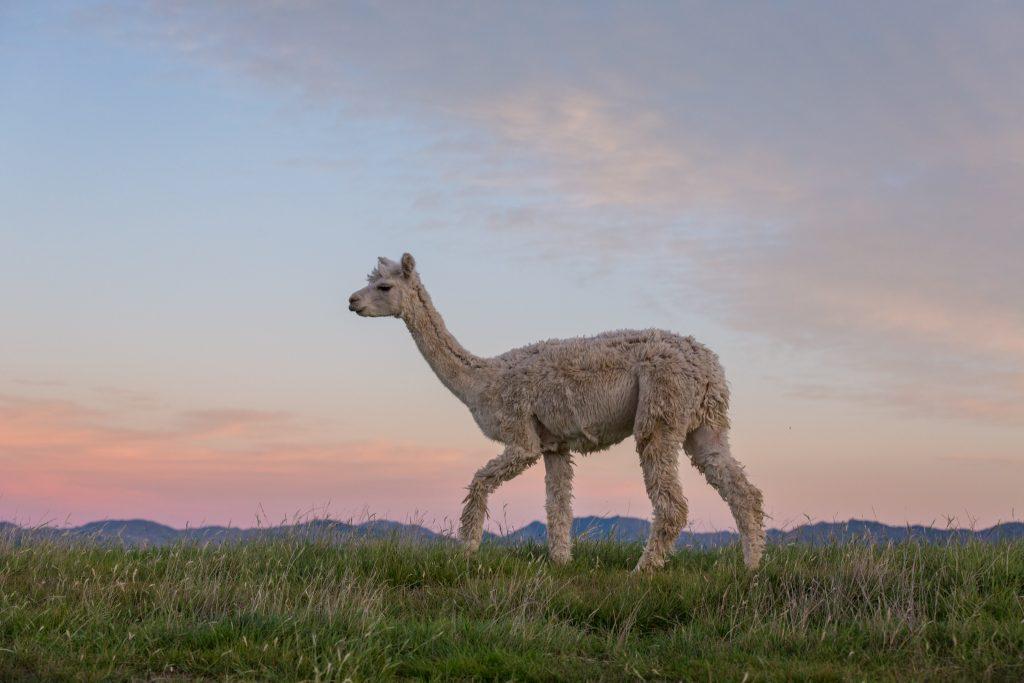 pictures of new zealand alpacas
