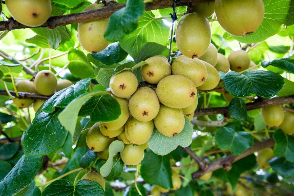 Golden kiwi fruit on the vine