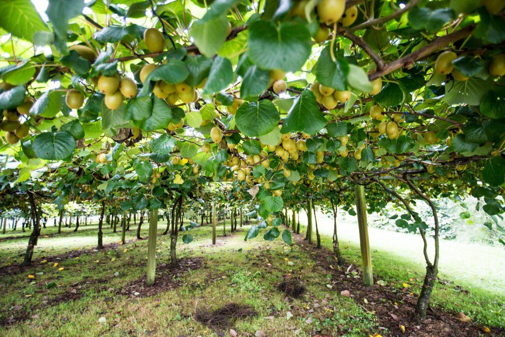 Golden kiwi fruit on the vine Bay Of Plenty The Hobbiton Movie Set