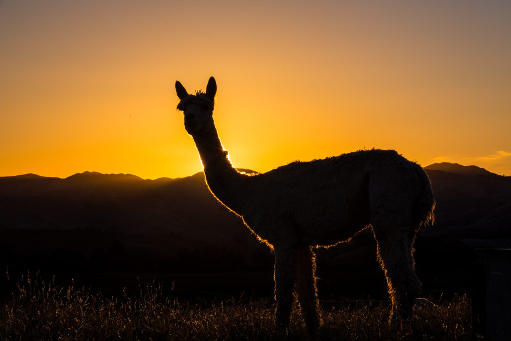 new zealand alpacas at sunrise Silhouette