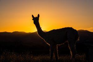 Sunrise Alpacas & Yealands Winery