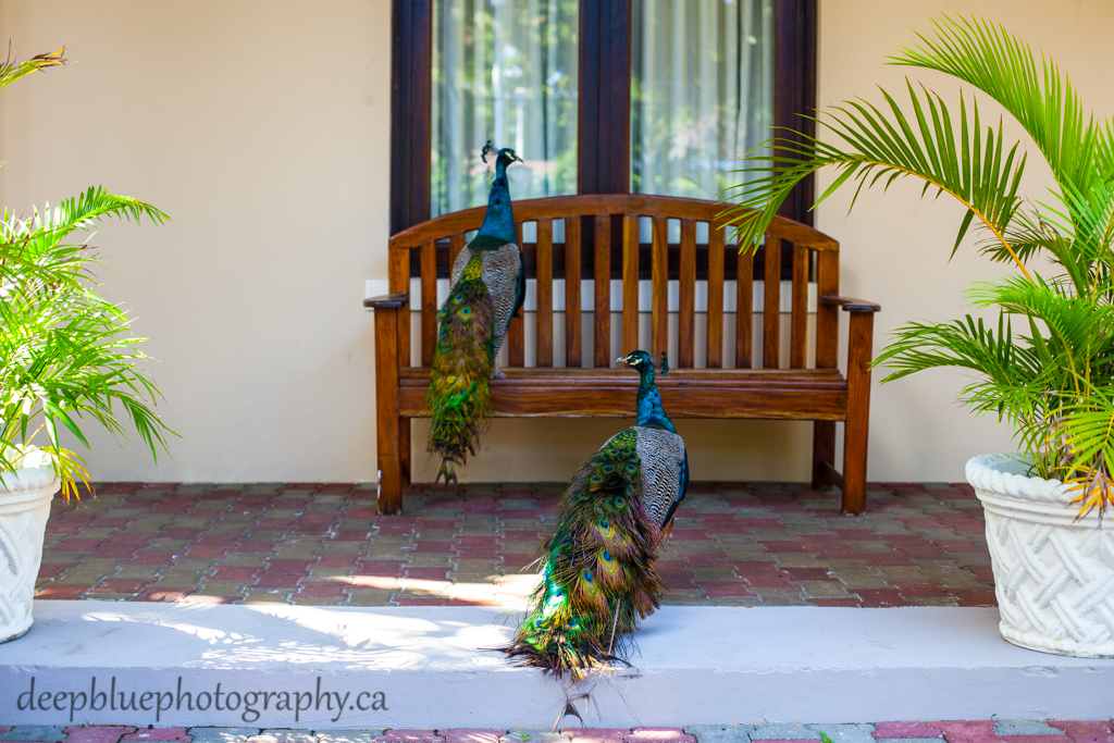 Destination wedding resort full of peacocks - jamaica destination wedding photographers