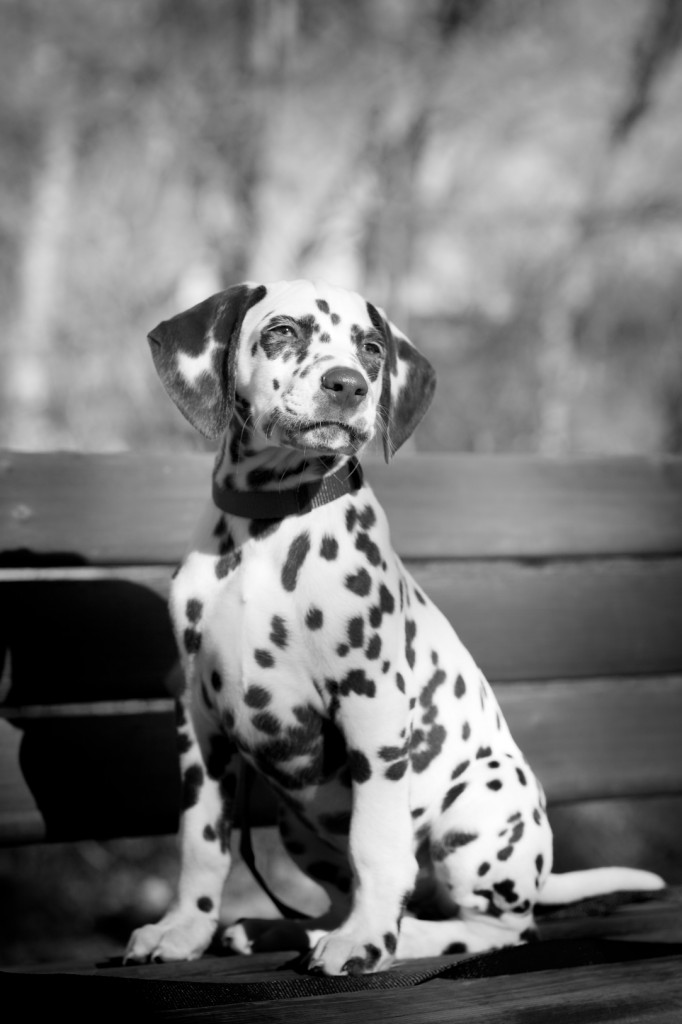 Dalmatian Engagement Photos