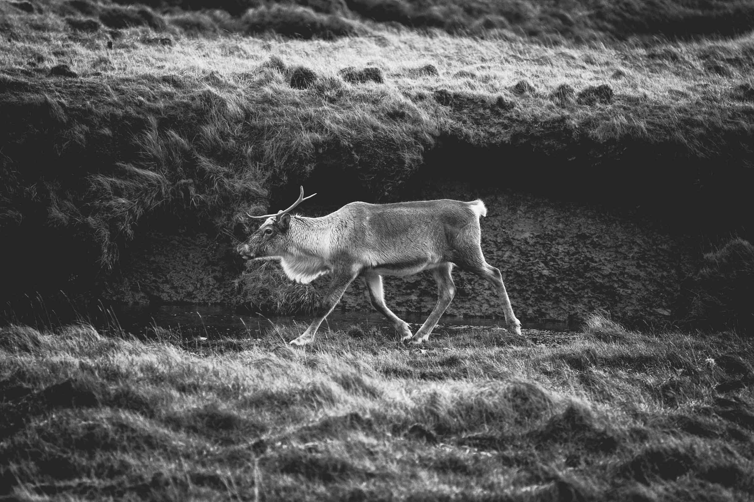 iceland reindeer