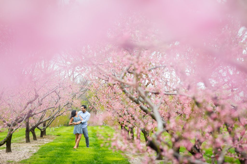 Walking through a field of cherry blossoms - Niagara on the Lake Engagement Photography