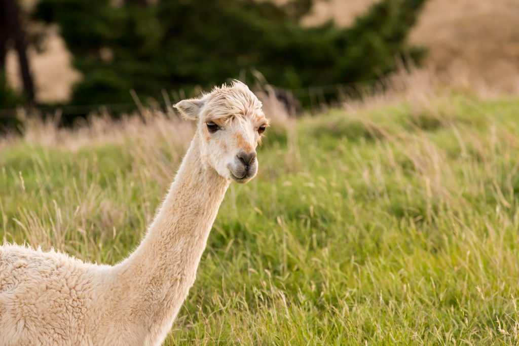 An alpaca in new zealand