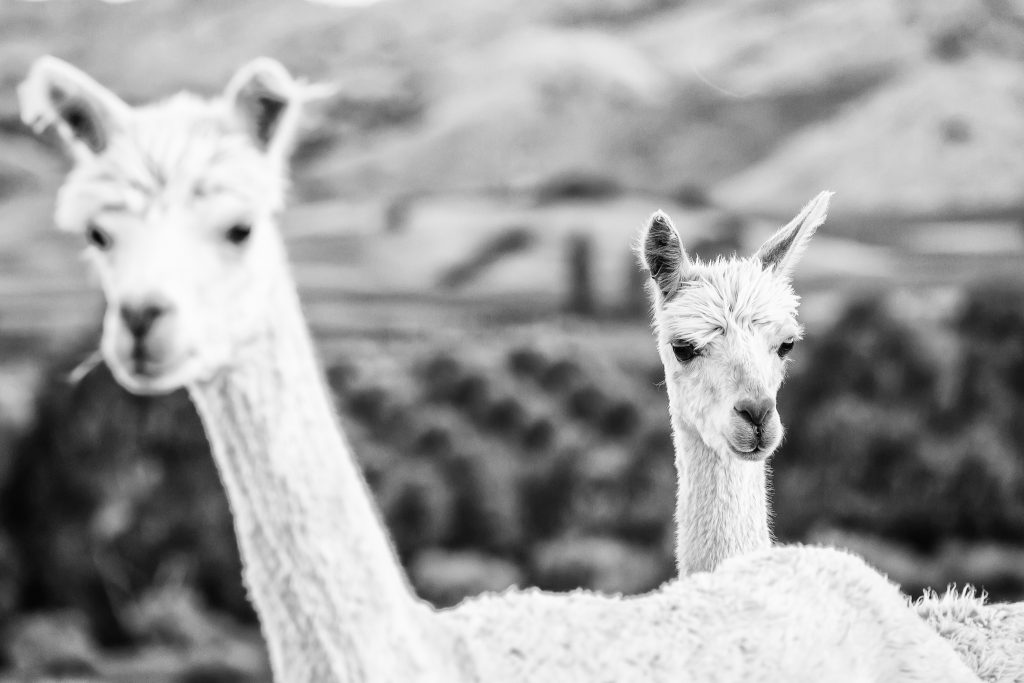 New Zealand alpacas