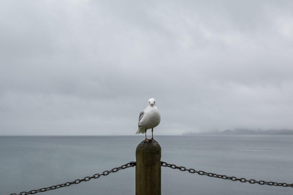 lake taupo seagull picture