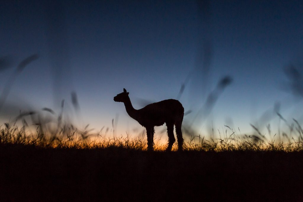 picture of alpacas at sunrise - Sunrise Alpacas & Yealands Winery