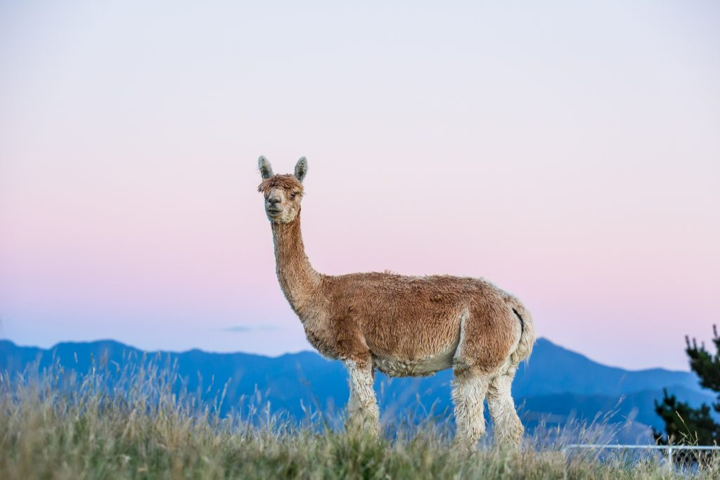 picture of new zealand alpacas at sunrise